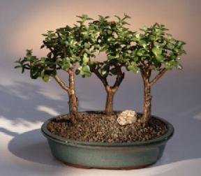 baby jade bonsai