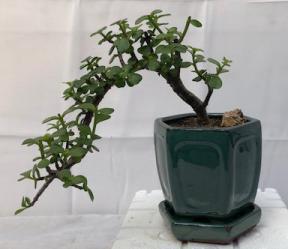 cascading bonsai tree type