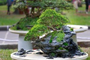 bonsia plant in park